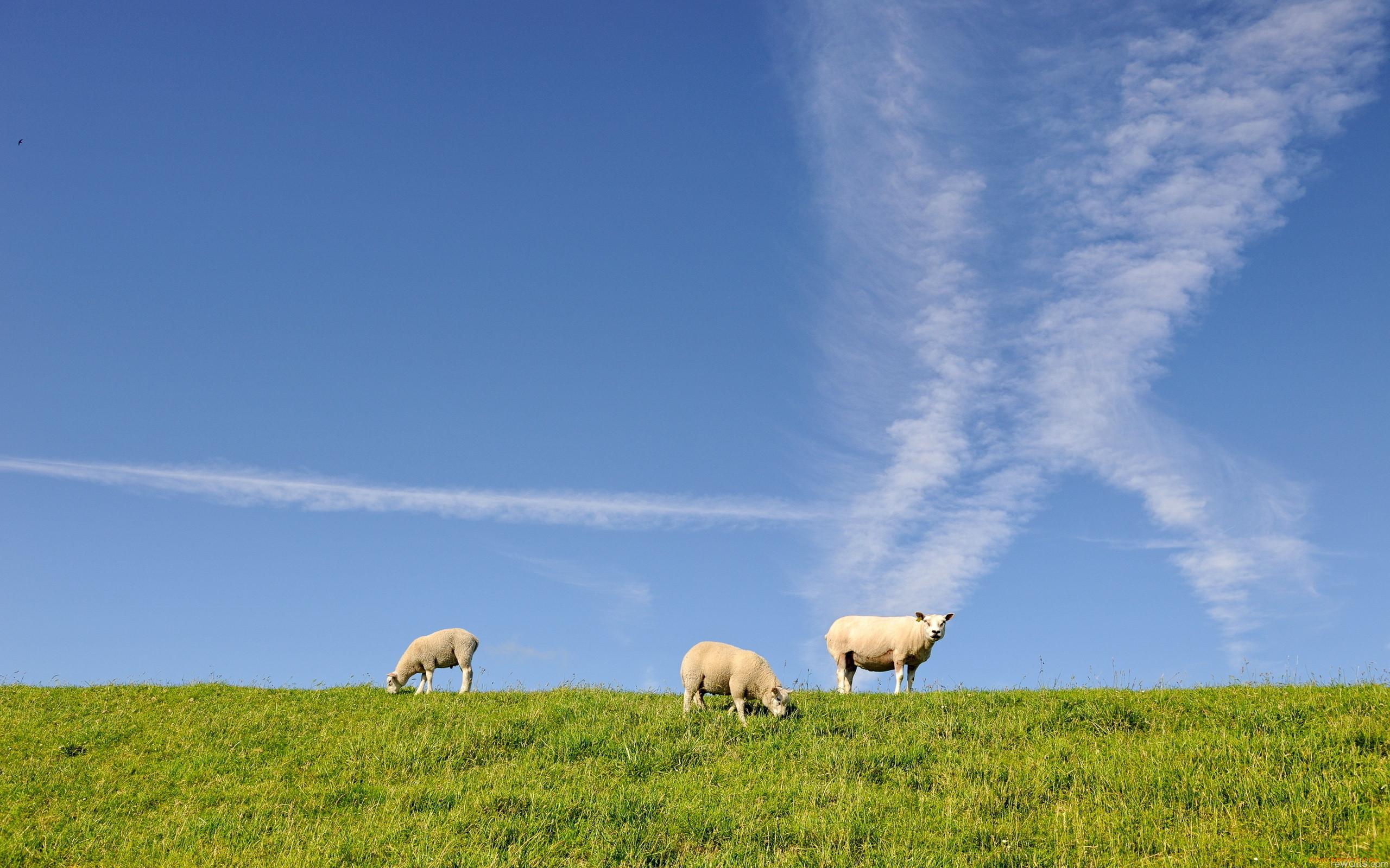 фото картинки луг с овцами размещение товаров один